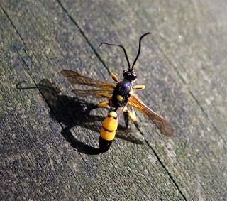 Male Ichneumon xanthorius