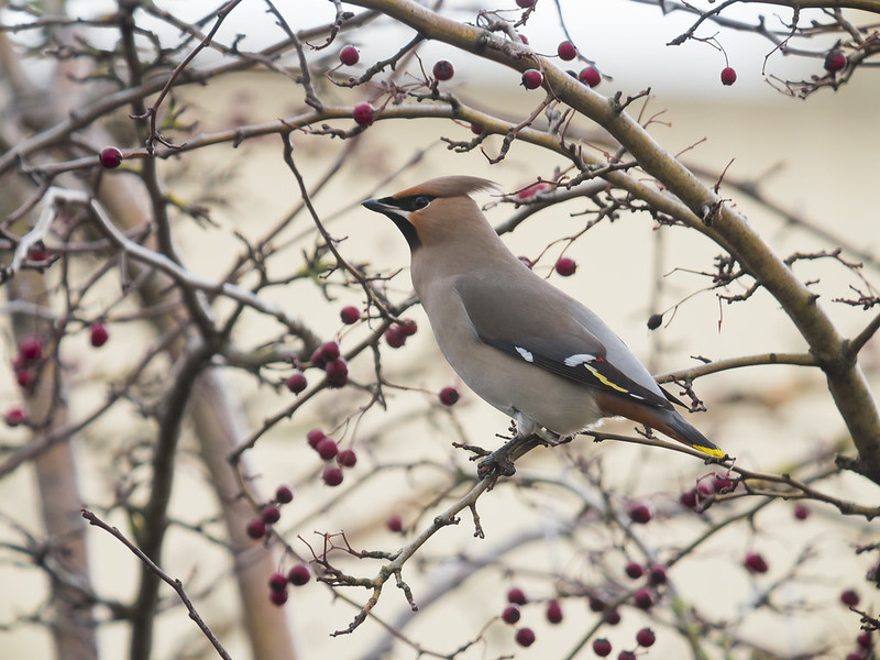 Waxwing, Sandy, 13th January 2019