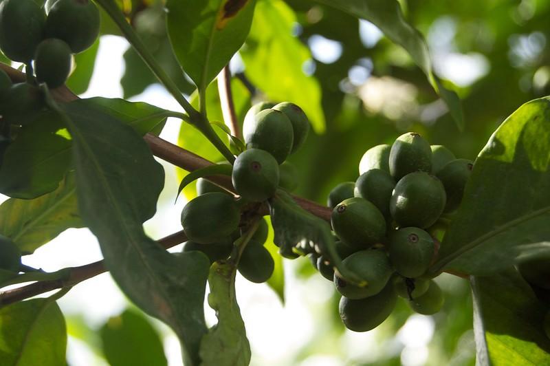 Cà phê Arabica SL28 (1)