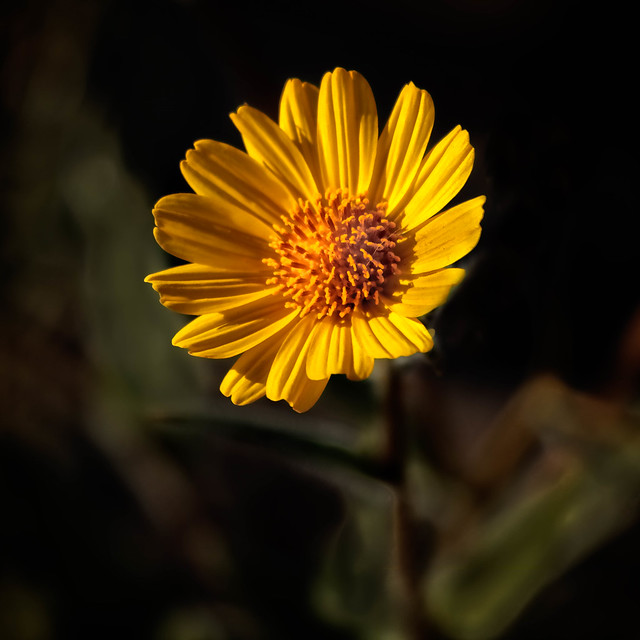 Striking Wild Sunflower