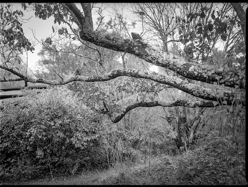 lichen lichencovered treelimbs branches yard craggyavenue asheville northcarolina mamiya645pro mamiyasekkor80mmf28 mamiyaprime primelens aristaedu200 ilfordilfosol3developer mediumformat monochrome monochromatic blackandwhite 120 120film film landscape