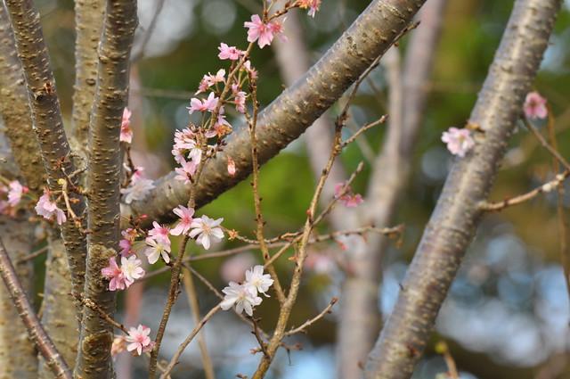 DSC_0489 十月桜