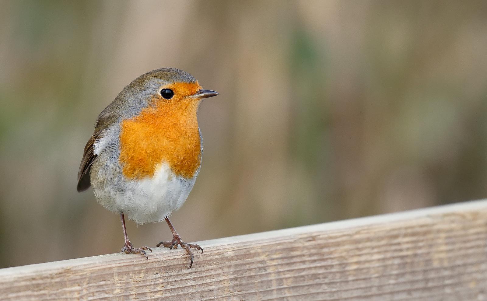 Robin - 1st winter