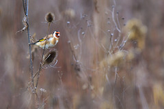 Goldfinch - Stieglitz