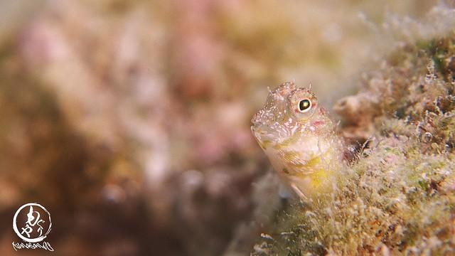 爪楊枝サイズのシマギンポ幼魚ちゃん♪