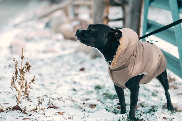 寒さ対策をしておでかけする犬
