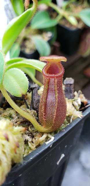 N. x Trusmadiensis