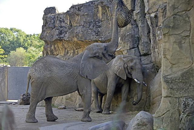 Afrikanischer Elefant, Nikon D800, AF-S VR Zoom-Nikkor 70-200mm f/2.8G IF-ED