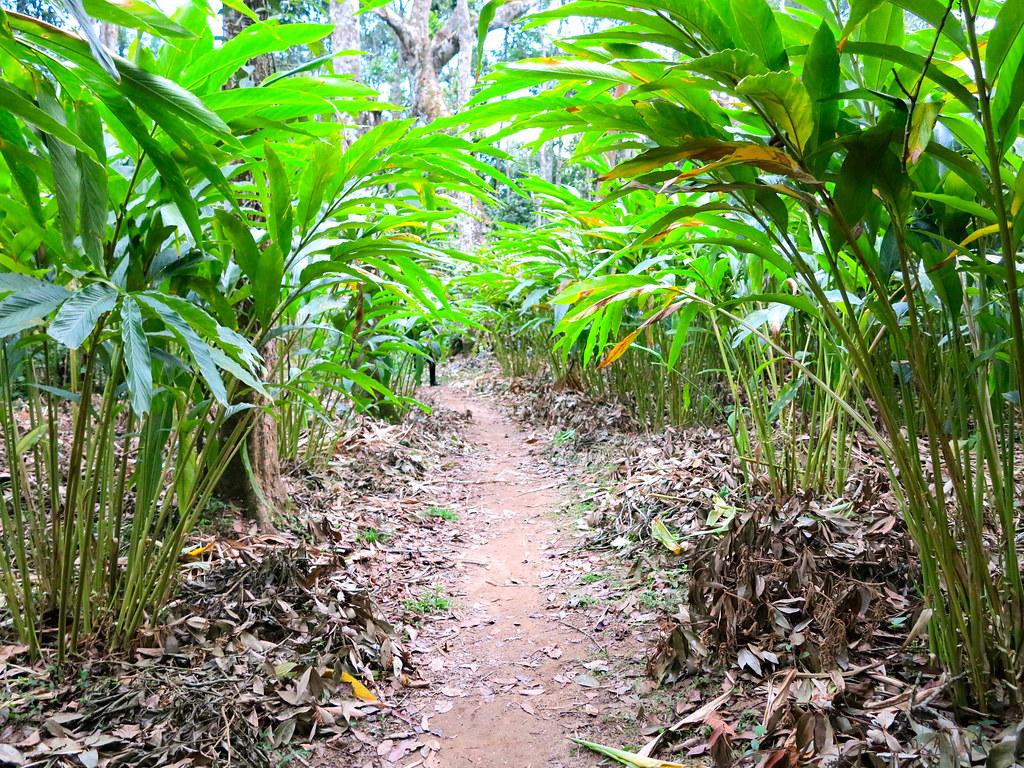 Plantaciones de especias de Kumily