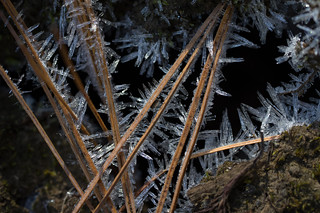 ice crystals on pine needles