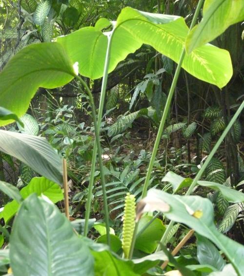 Calathea crotalifera 31146790567_aa4b01a397_o