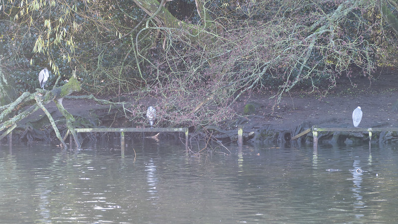 Can't see you: three herons, West Park