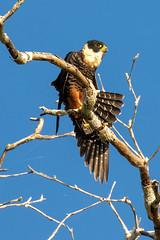 The Orange-breasted Falcon