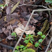 Autumn fungi: collared earth star