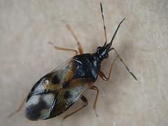 Anthocoris nemorum