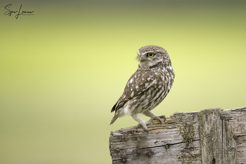 Steenuil / Little Owl - 22798 | by Sjors loomans
