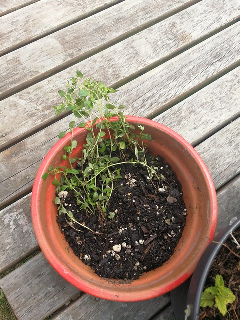 thyme planting in The Deck by shiny