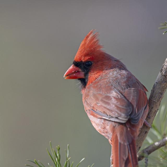 Mature Male Cardinal on Pine