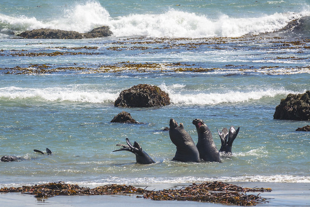 Elephant-Seals, Nikon D5200, Sigma APO 100-300mm F4 EX IF HSM