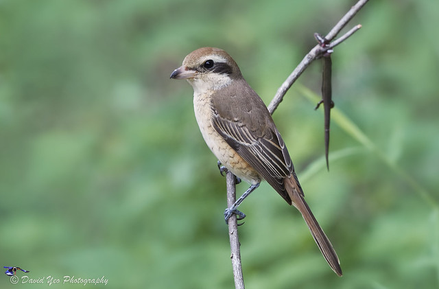 Brown Shrike Lanius cristatus, Canon EOS 7D MARK II, Canon EF 600mm f/4.0L IS II USM