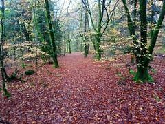 Forêt de Trémelin à Inzinzac-Lochrist, Pays de Lorient (Bretagne, Morbihan, France)