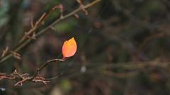 Additional leaf (for massimo peta)