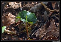 Jeune pousse de hêtre (Fagus sylvatica)