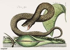 Brown Viper (Vipera Fusca) from The natural history of Carolina, Florida, and the Bahama Islands (1754) by Mark Catesby (1683-1749).