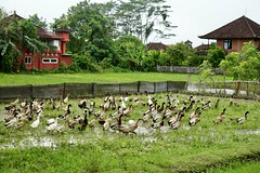 A big flock of ducks in the rice paddy near our villa in Ubud (visible, red)