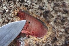 Ambrosia beetle hole in Acacia koa