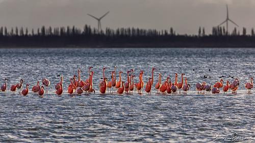 Flamingo's @ Goeree-Overflakkee