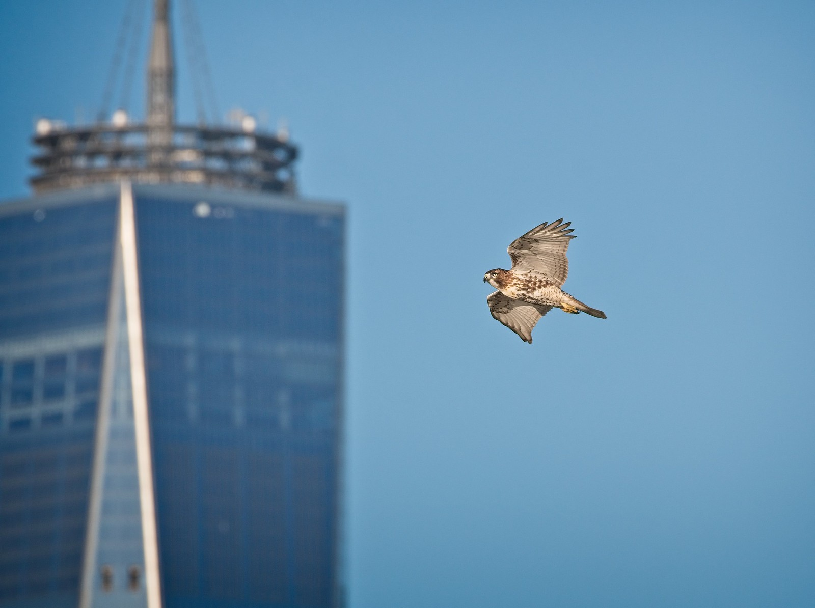 Red-tail flying past the World Trade Center