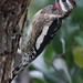 Yellow-bellied Sapsucker---Sphyrapicus varius by Dave_Lawrence