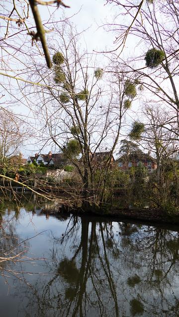 Mistletoe reflected