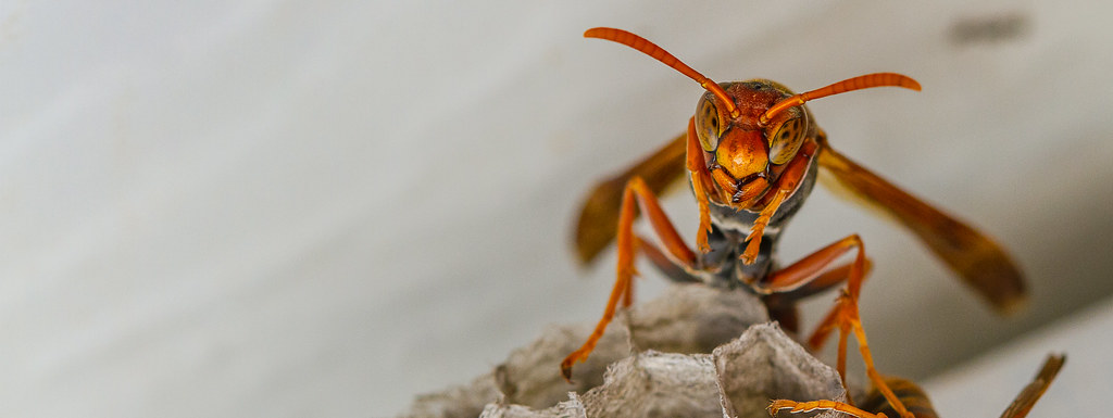Common Paperwasp (Polistes humilis)