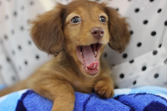 緊張からくる行動であるあくびをする犬