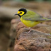 Hooded Warbler by Greg Lavaty Photography