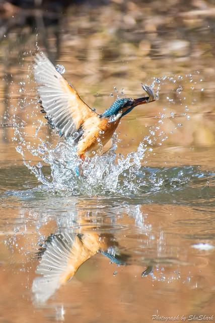 20190202-kingfisher-DSC_0840