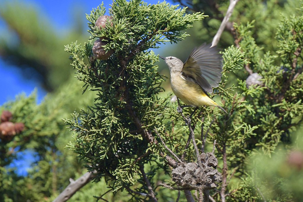 Yellow -rumped Thornbill ( working hard )