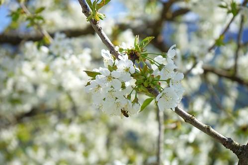 Kirsch Blüte Frühling