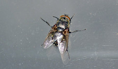 Musca domestica (house fly) (Marion, Ohio, USA) 2