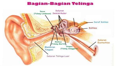 Telinga – Definisi, Fungsi, dan Penyakit Terkait