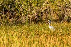 Belize White Egret in the Marsh