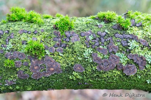 Paarse eikenschorszwam - Peniophora quercina