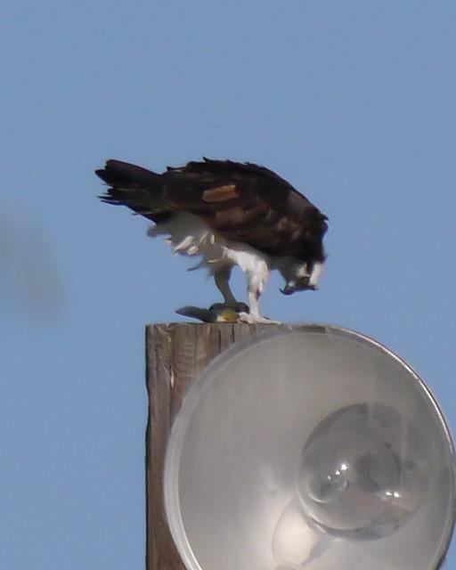 Osprey eating Fish - 1