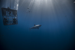 Image by George Probst (sharkpix) and image name Tranquility photo  about One of the misconceptions about shark diving is that it's largely an 'adrenaline junkie' activity. While I'm sure that's the case for some divers, I think those people are probably in the minority, based on conversations I've had with other divers over the years. For many of us, myself included, the