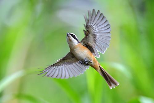 Brown Shrike, 紅尾伯勞