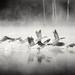 Canada Geese Flight