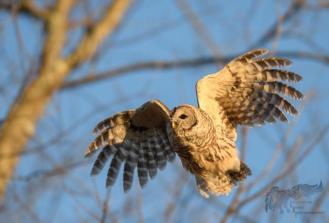 Barred Owl 12_18 2