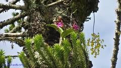 Cattleya tigrina em araucária